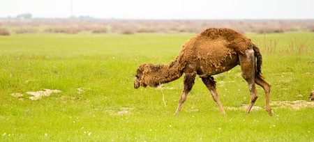 camel in the field of green grass spring