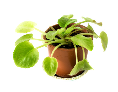 green plant in a pot isolated on white background