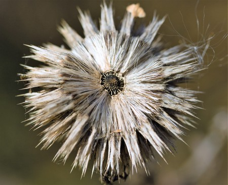 dry withered autumn thistles Stock Photo