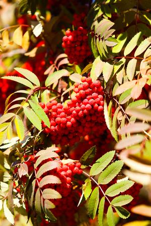 fruits of mountain ash on the tree autumn landscape Stock Photo