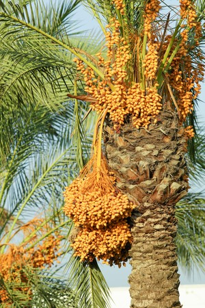 yellow dates on a tree landscape