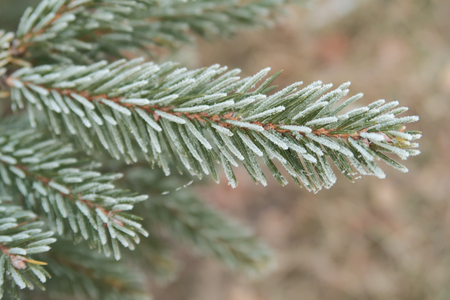 spruce with needles on needles close-up