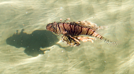 Top view through the water, fish lionfish (Pterois) - the genus of luciform fish of the Scorpion family.