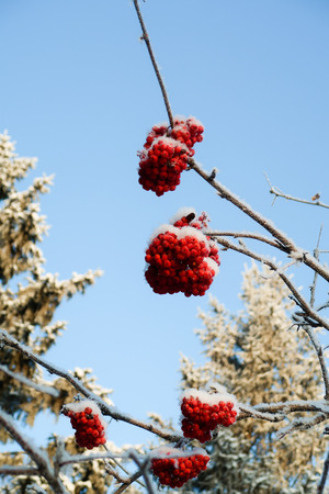 mountain ash in the snow against the sky Standard-Bild