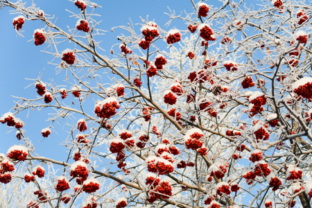 mountain ash in the snow against the sky Stock Photo