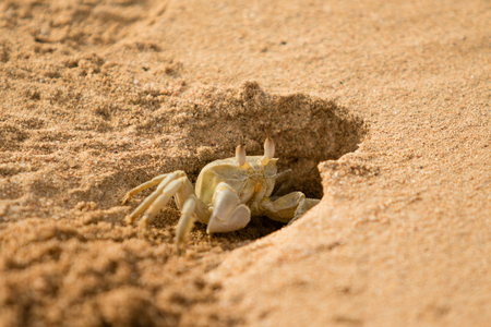 sand crab in the hole