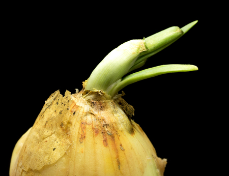 Sprouted onion green from a bulb