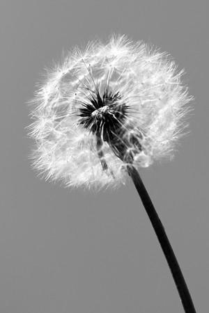 dandelion black and white photo, art Stock Photo