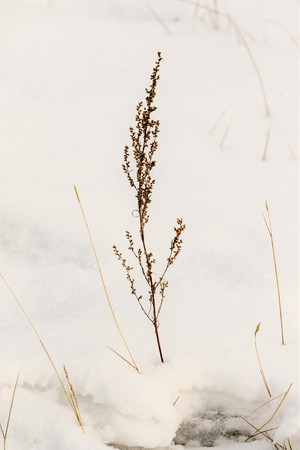 dry grass thorns in the snow Stock Photo
