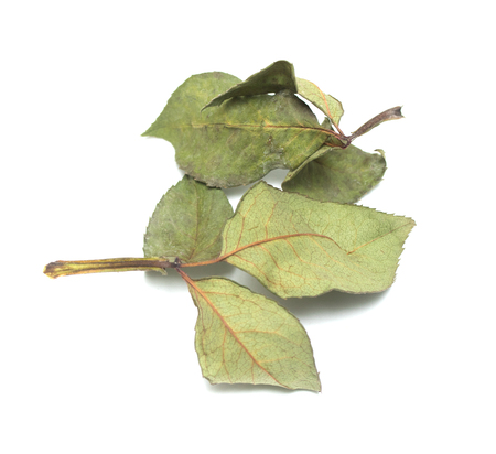 dry green leaves on a white background