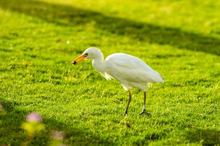 white bird heron walking on green grass 스톡 콘텐츠
