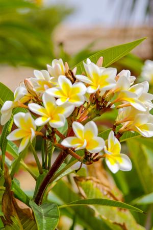 Plumeria white flowers plants nature