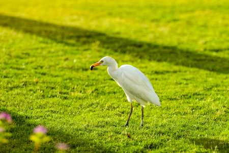 white bird heron walking on green grass 写真素材