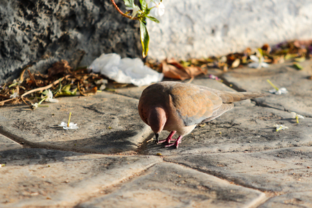 american mourning dove on the ground grass landscape