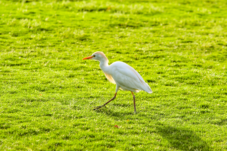 white bird heron walking on green grass Reklamní fotografie