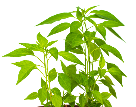 green plant from a pot with ground on a white background Stockfoto
