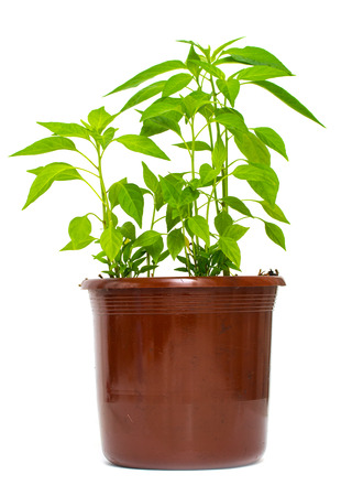 Green plant from a pot with ground on a white background