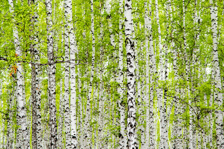 background of birch forest trees green spring