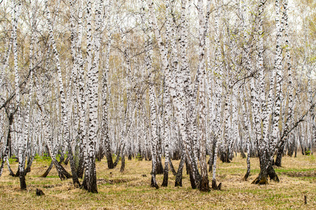autumn birch forest without leaves