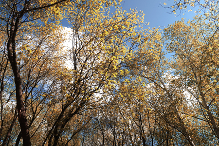 golden autumn forest view from the bottom to the clouds