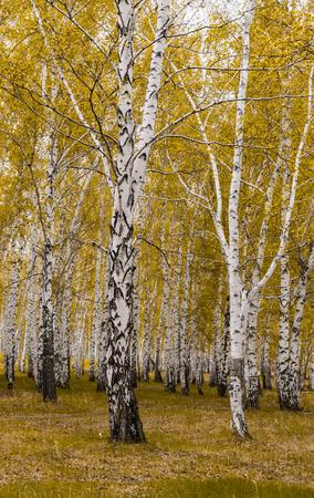 golden autumn, birch forest yellow, landscape Stock Photo