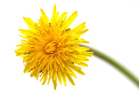 yellow dandelion flower isolated on white background Banco de Imagens