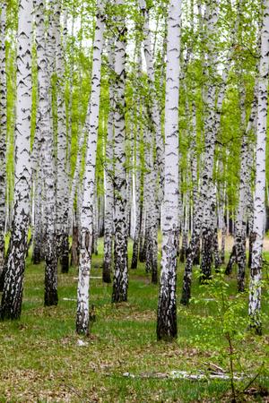 green spring birch forest, landscape Stockfoto