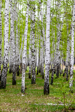 green spring birch forest, landscape 写真素材