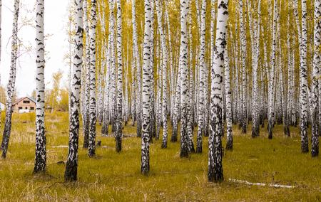 golden autumn, birch forest yellow, landscape Stockfoto