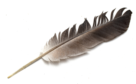 feather from a birds wing on a white background
