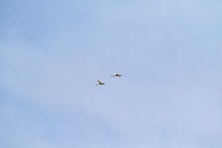 two swans in the sky fly high Stock Photo