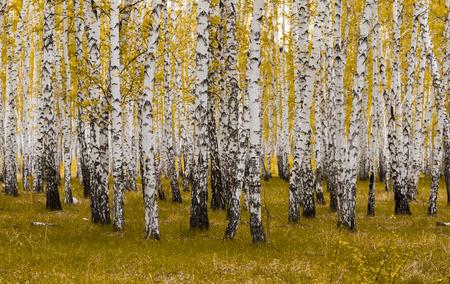golden autumn, birch forest yellow, landscape Фото со стока