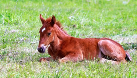 foal lies in the green grass