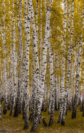 golden autumn, birch forest yellow, landscape