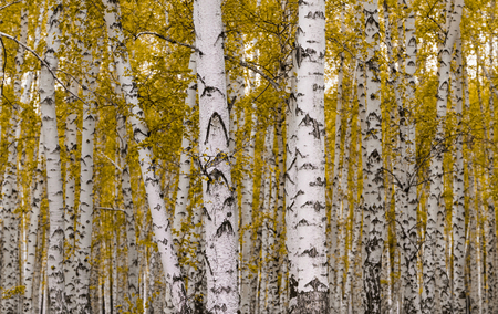 golden autumn, birch forest yellow, landscape 免版税图像