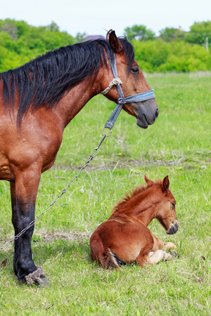 A mare with a foal on a green meadow, close-up. 免版税图像 - 104317096