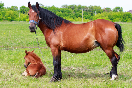 A mare with a foal on a green meadow, close-up. 免版税图像 - 104317363