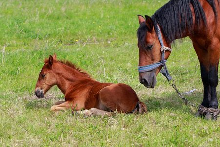 A mare with a foal on a green meadow, close-up.