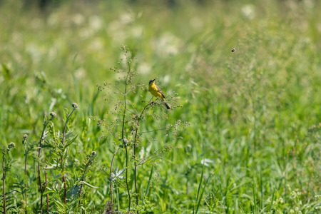 American Goldfinch  on green grass