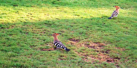 bird hoopoe on earth nature