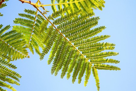 green acacia leaves on the sky background