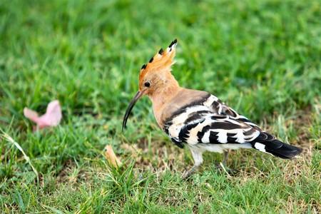 bird hoopoe in green grass Stock Photo