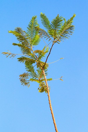 green acacia leaves on the sky background Stock Photo