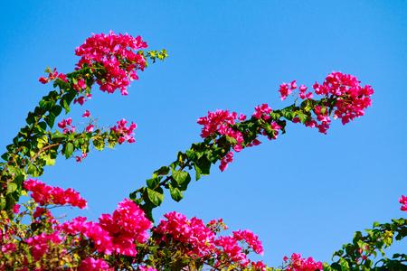 Bougainvillea bright flowers landscape Stock Photo