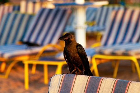 crow on the beach in search of food Standard-Bild