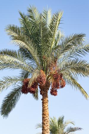 les dattes poussent sur un palmier nature