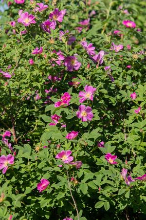 wild rose hips landscape close-up