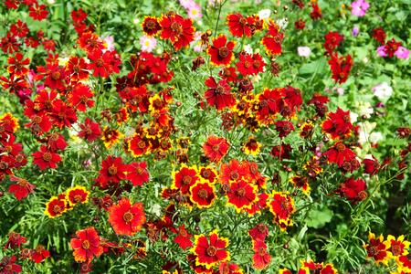 Coreopsis dye flowers nature Stock Photo