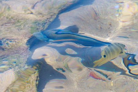 reef fish top view, defocused by water