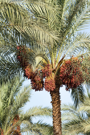 dates grow on a palm tree nature